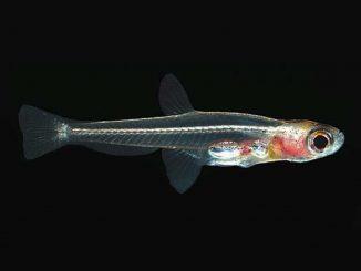 Der kleinste Süßwasserfisch der Welt