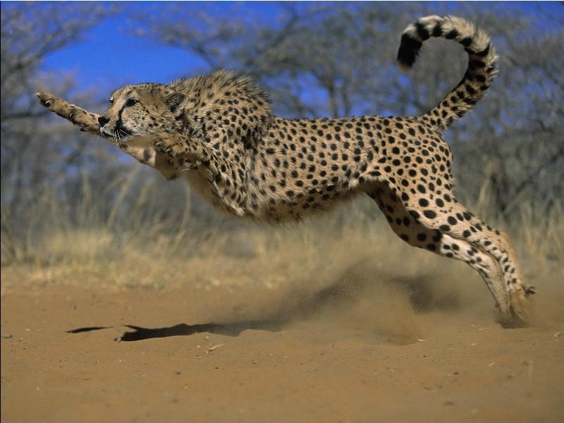 Das Schnellste Tier der Welt
