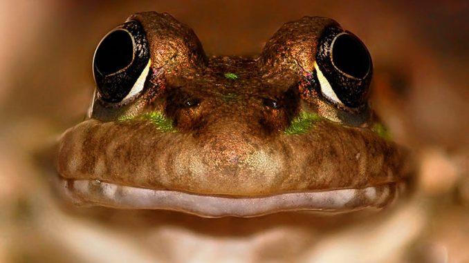 Der zweitkleinste Frosch der Welt
