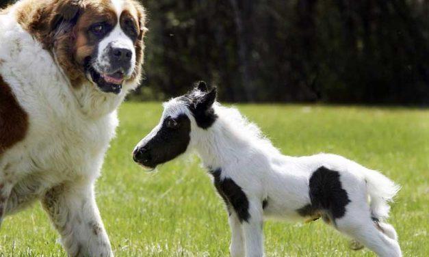 Falabella – Das Kleinste Pferd der Welt