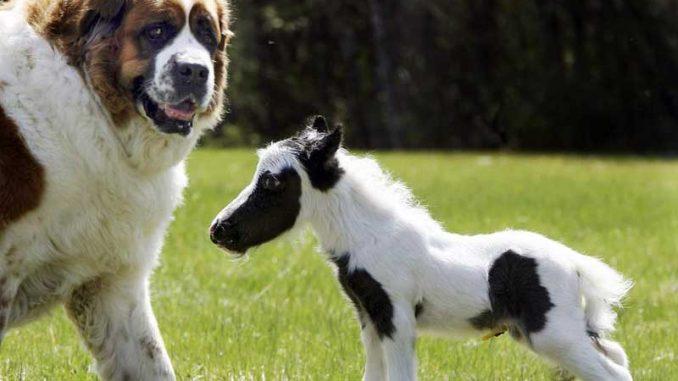 Falabella - Das Kleinste Pferd der Welt