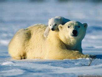 Eisbär mit Jungtier