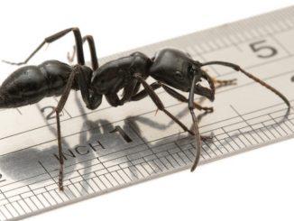 Die Groesste Ameisen Der Welt