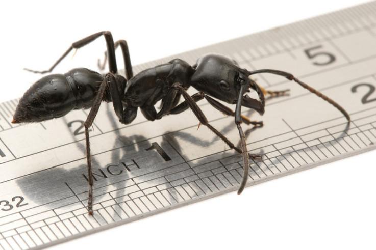 Die Größten Ameisen der Welt