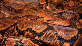 Die Grösste Schlange der Welt - Die Grüne Anakonda