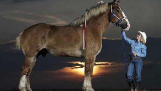 Das größte Pferd der Welt