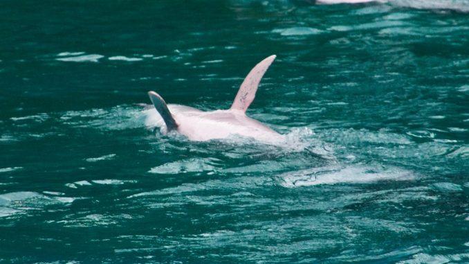 Rosa Delfine beim Rückenschwimmen
