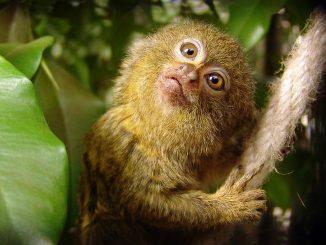 Das Zwergseidenäffchen - Der Kleinste Affe der Welt