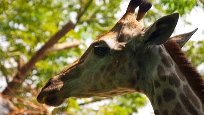 Kopf einer jungen Giraffe