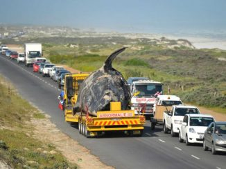 Ende eines gestrandeten Wal