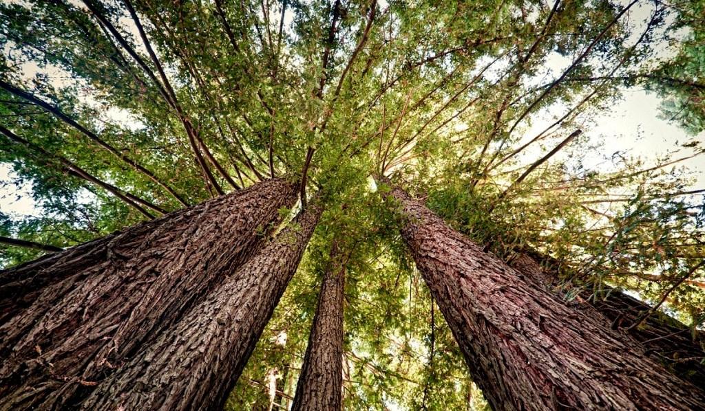 Der Höchste Baum der Welt