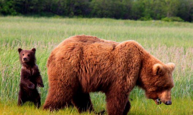 Der größte Bär der Welt
