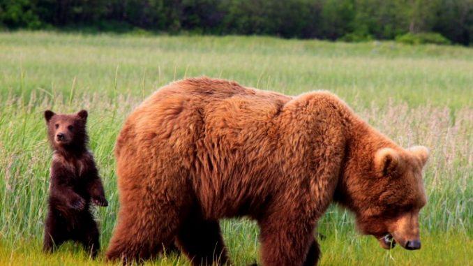 Kodiakbär mit Nachwuchs