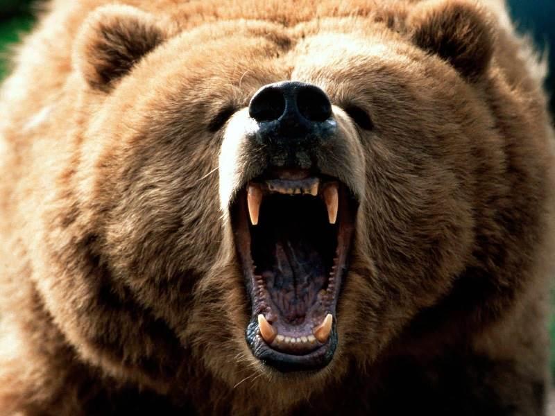 Der Kodiakbär - Der Größte Bär der Welt