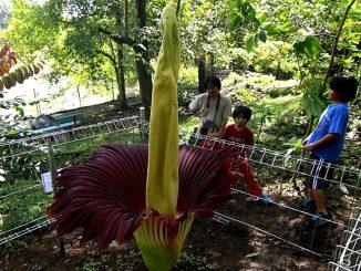 Titanenwurz - Die Größte Blume der Welt