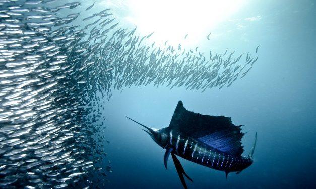 Der schnellste Fisch der Welt