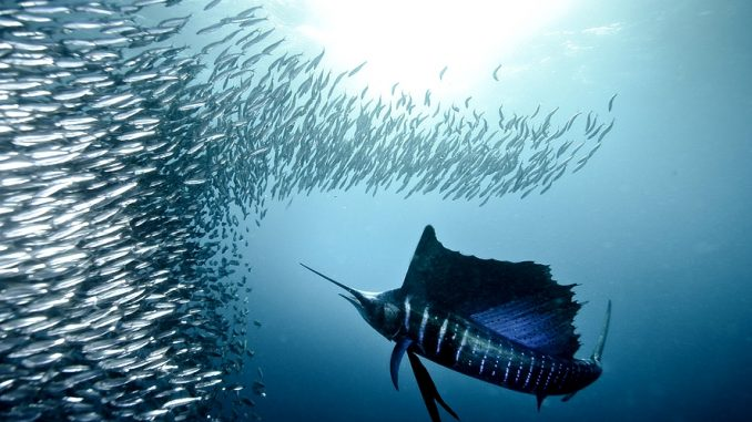 Der Fächerfisch auch Segelfisch genannt. lat.: Istiophorus platypterus