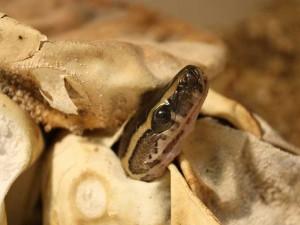 Eine Schlange beim Schlüpfen