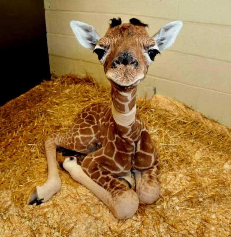 wie hoch ist die giraffe wie gross wie schwer wie weit. Black Bedroom Furniture Sets. Home Design Ideas