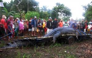 Lolong - das größte Krokodil der Welt