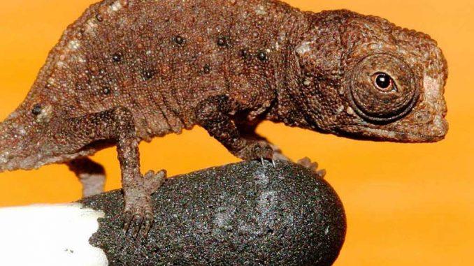 Das kleinste Reptil in Nahaufnahme