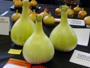 Ein weiterer Rekord - Die drei größten Zwiebeln aus einer Zucht
