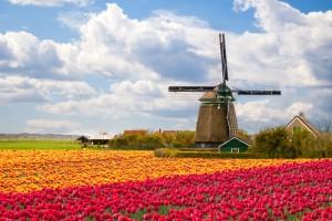 Blumenfeld in den Niederlanden
