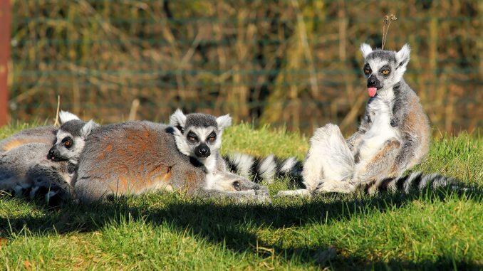 Lemuren - Madagaskar