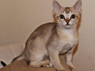 Singapura - Die kleinste Katzenrasse der Welt