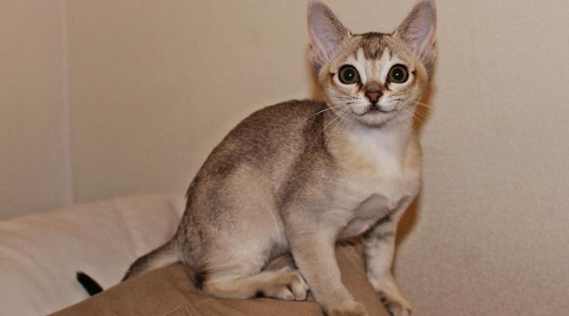 Die Kleinste Katzenrasse