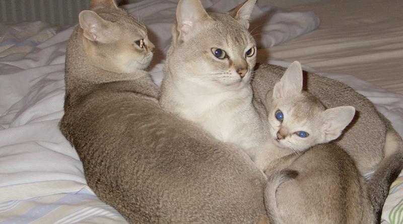 Singapura Katzen