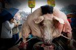 Das größte Schwein der Welt